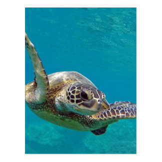 Hawaii Green Sea Turtle - Honu Postcard