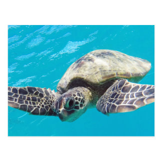 Hawaii Green Sea Turtle Postcard