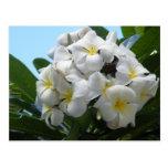 Hawaii Plumeria Flower Post Card
