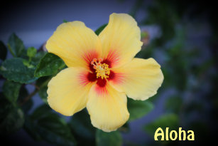 hawaii state flower gifts on zazzle