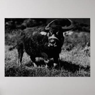 HawaiiA Water Buffalo  PhotographHawaii Print