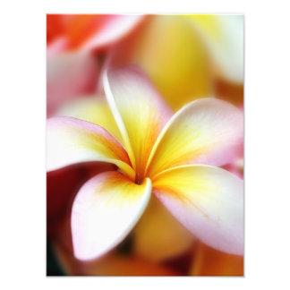 Hawaiian blanco de la flor de Hawaii del Fotografía