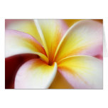 Hawaiian blanco de la flor de Hawaii del Frangipan Tarjeton