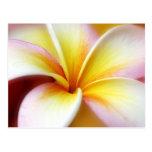 Hawaiian blanco de la flor de Hawaii del Frangipan Tarjeta Postal
