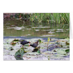 Hawaiian Common Moorhen in Lily Pond Greeting Cards