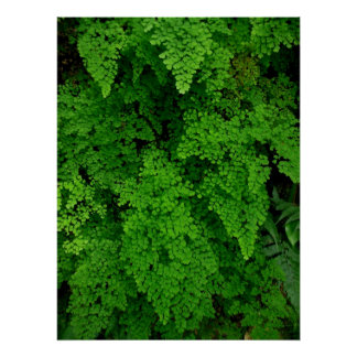 Hawaiian Ferns Poster