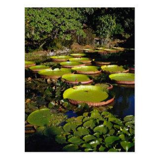 Hawaiian Giant Lily Pads Postcard