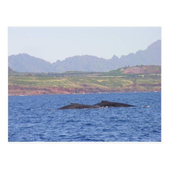 Hawaiian Humpback Whales Postcard