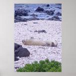 Hawaiian Monk Seal Posters