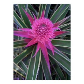 Hawaiian Pink Pineapple Poster