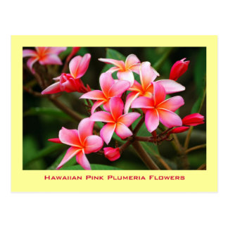 Hawaiian Pink Plumeria Flowers, Maui Postcard