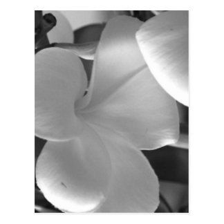 Hawaiian Plumeria Flowers in Black and White Postcard