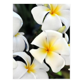 Hawaiian Plumeria Tropical Flowers Postcard