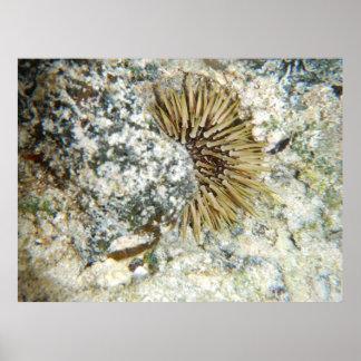Hawaiian Sea Urchin Poster