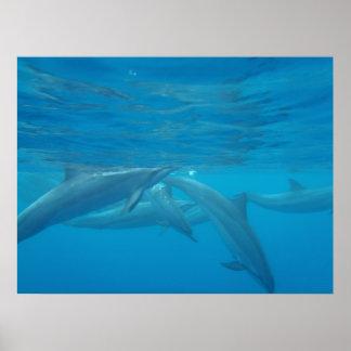 Hawaiian spinner dolphins underwater poster