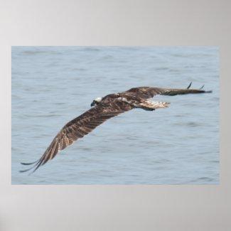 Hawk in Flight Florida Poster