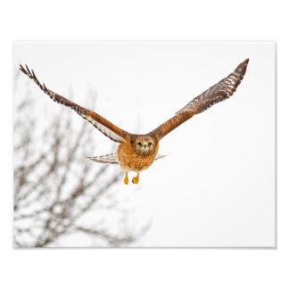 Hawk in Flight Photo Print