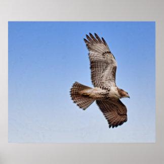 Hawk in Flight Poster