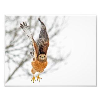 Hawk Taking Flight Photo Print