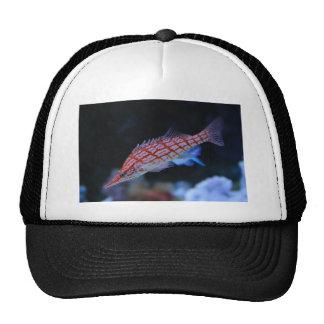 Hawkfish de pico largo rojo gorros
