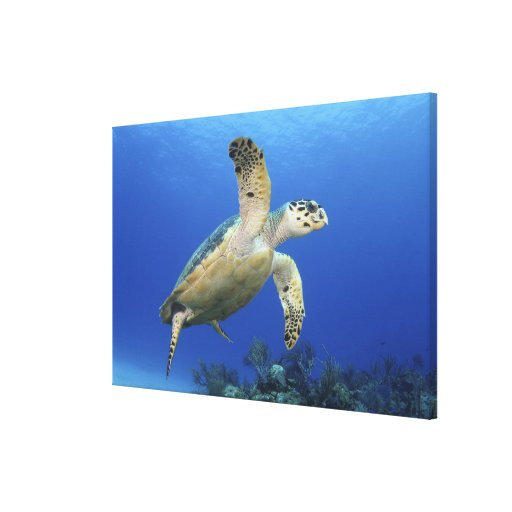 Hawksbill Sea Turtle Gallery Wrapped Canvas
