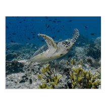 Hawksbill Sea Turtle Swimming Postcard