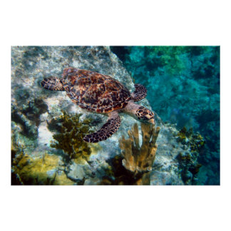 Hawksbill Sea Turtle, US Virgin Islands Poster