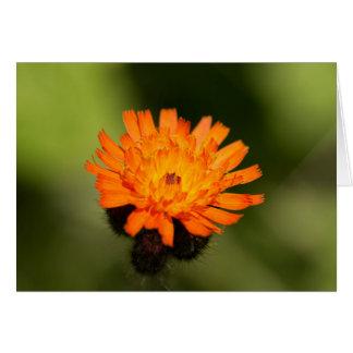 Hawkweed anaranjado tarjeta de felicitación