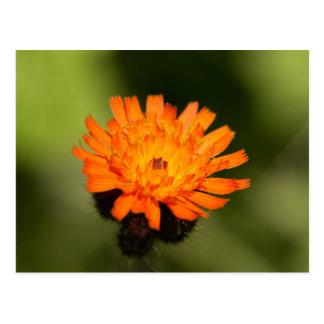 Hawkweed anaranjado tarjetas postales