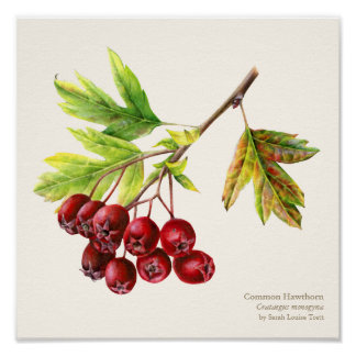 Hawthorn botanical fine art poster print