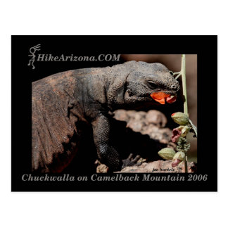 HAZ Chuckwalla Postcard