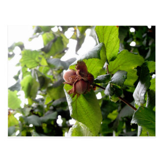 Hazel branches with nuts postcard