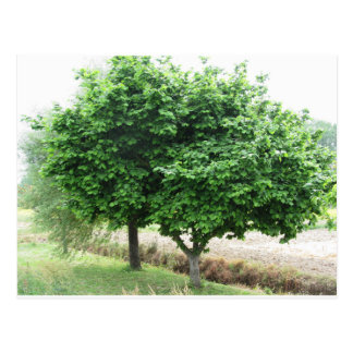 Hazel tree with green leaves in spring postcard