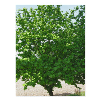 Hazel tree with green leaves postcard