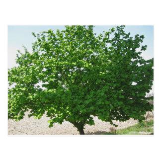Hazel tree with green leaves postcard