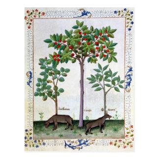 Hazelnut Bush  and Cherry tree Postcard