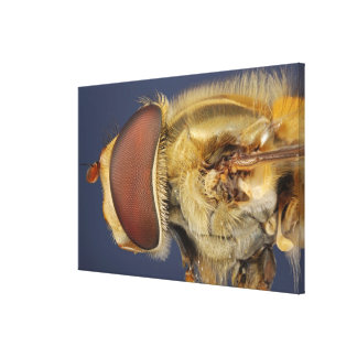 Head and Compound Eye of a Hover Fly Canvas Print