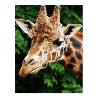 Head of a giraffe postcard