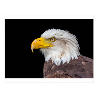 Head of bald eagle on black postcard