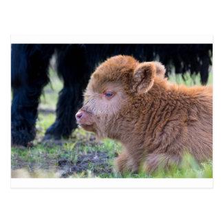 Head of Brown newborn scottish highlander calf Postcard