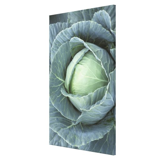 Head of cabbage with drops of water canvas print