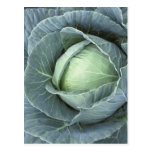 Head of cabbage with drops of water postcard