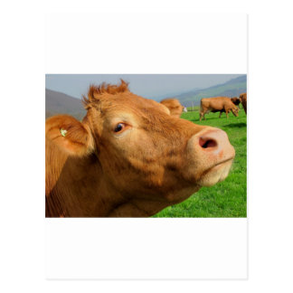 HEAD OF COW POSTCARD