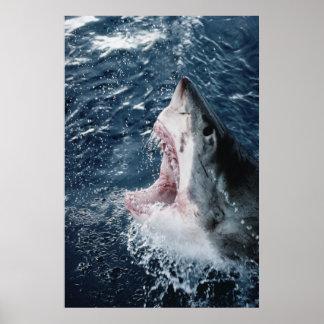 Head of Great White Shark Print