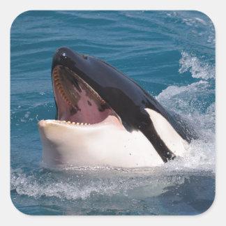 Head of killer whale square sticker