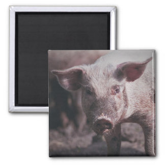 Head of pig - magnet