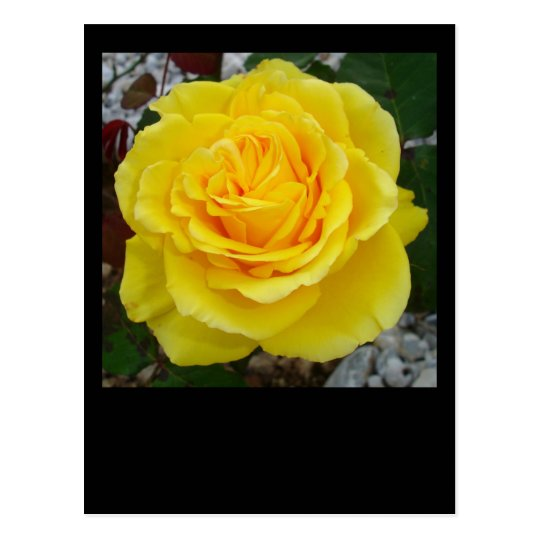 Head On View Of A Yellow Rose Postcard