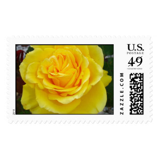 Head On View Of A Yellow Rose With Garden Stamps
