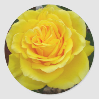 Head On View Of A Yellow Rose With Garden Round Sticker