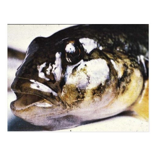 Head Picture of Round Goby Postcard